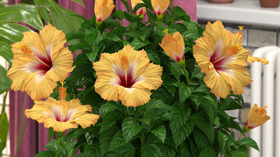 Blooming Hibiscus Flower Orange royalty-free 3d model - Preview no. 6