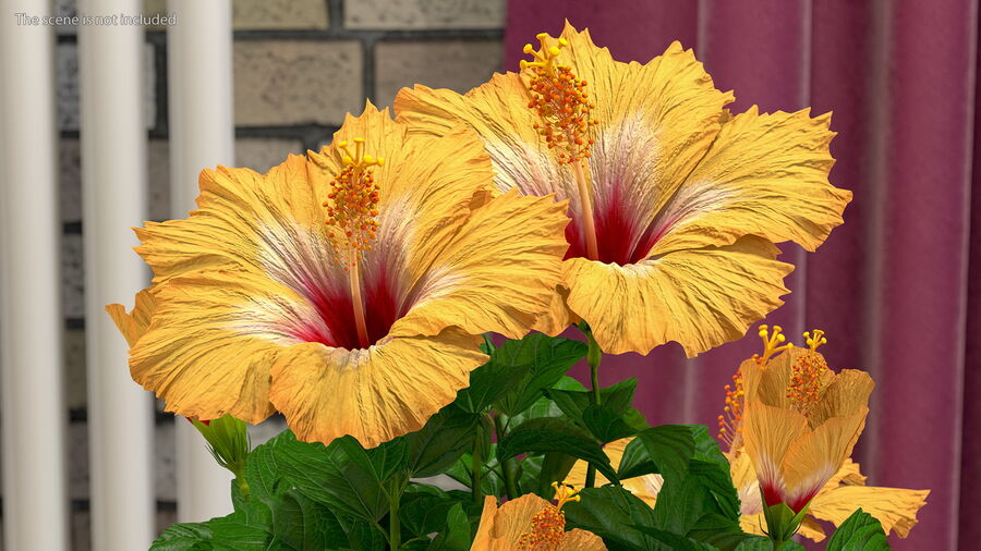 Blooming Hibiscus Flower Orange royalty-free 3d model - Preview no. 7