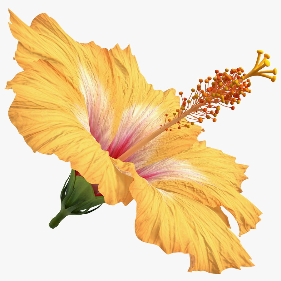Blooming Hibiscus Flower Orange royalty-free 3d model - Preview no. 1