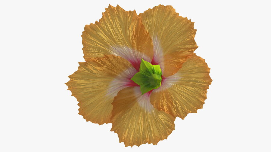 Blooming Hibiscus Flower Orange royalty-free 3d model - Preview no. 11