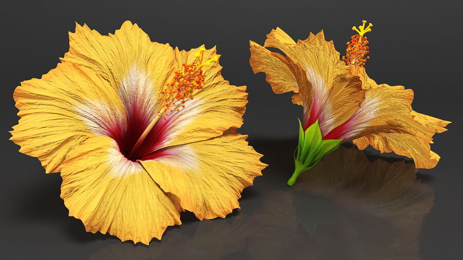Blooming Hibiscus Flower Orange royalty-free 3d model - Preview no. 3