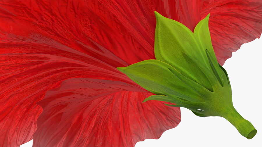 Blooming Red Hibiscus Flower royalty-free 3d model - Preview no. 15