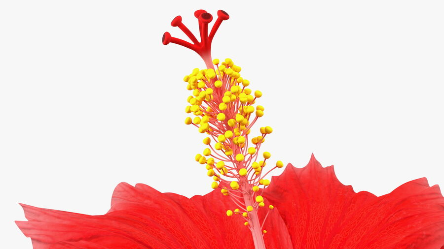 Blooming Red Hibiscus Flower royalty-free 3d model - Preview no. 12
