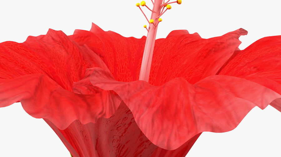 Blooming Red Hibiscus Flower royalty-free 3d model - Preview no. 13