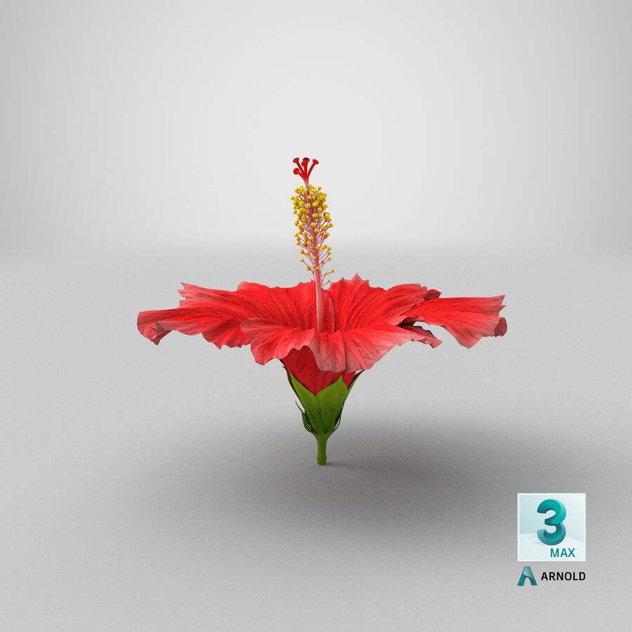 Blooming Red Hibiscus Flower royalty-free 3d model - Preview no. 5