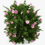 Fioritura Hibiscus Bush Pink 3d model