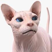 Creme Sphynx Katze manipuliert 3d model