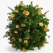 Blooming Hibiscus Bush Orange 3d model