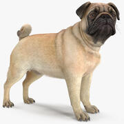 Pug Dog Fur 3d model