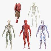 男性の体の解剖学コレクション 3d model
