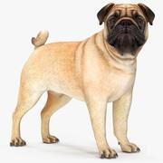 Pug Dog Rigged for Maya 3d model