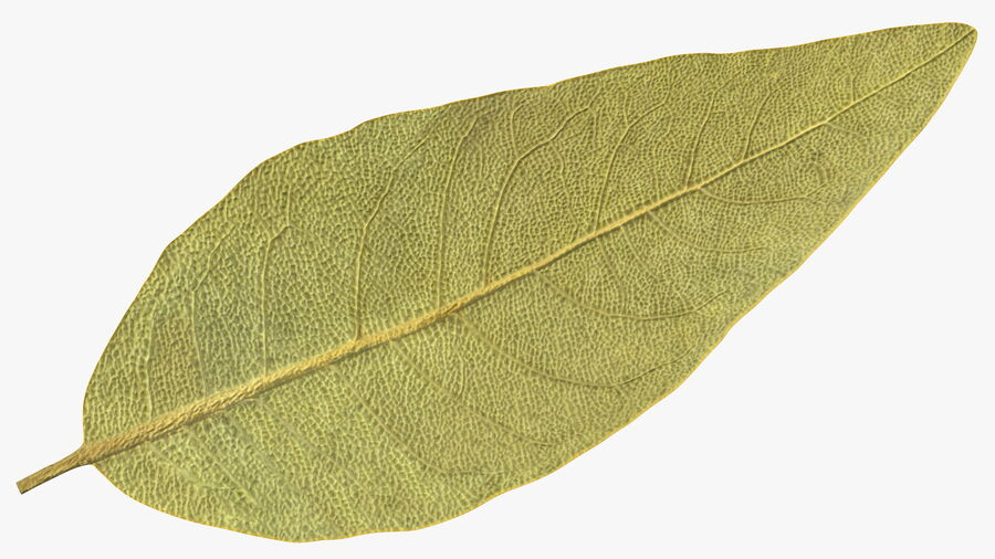 Dried Bay Laurel Leaf royalty-free 3d model - Preview no. 10