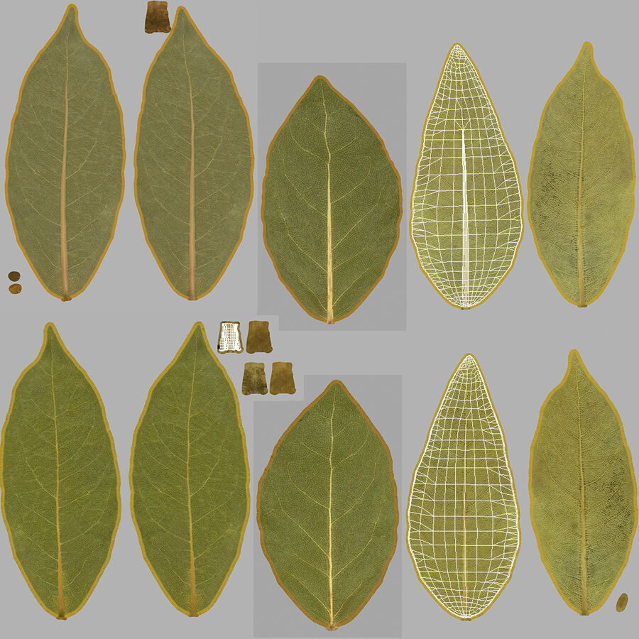 Dried Bay Laurel Leaf royalty-free 3d model - Preview no. 14