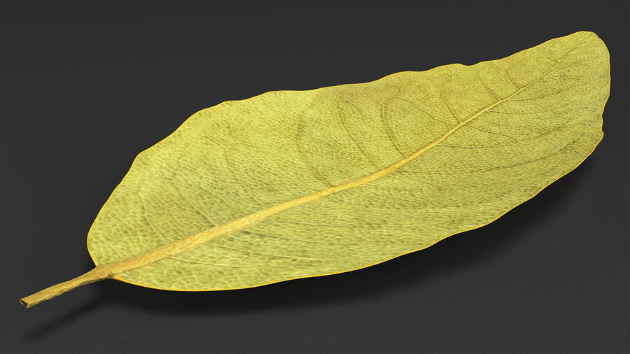 Dried Bay Laurel Leaf royalty-free 3d model - Preview no. 5