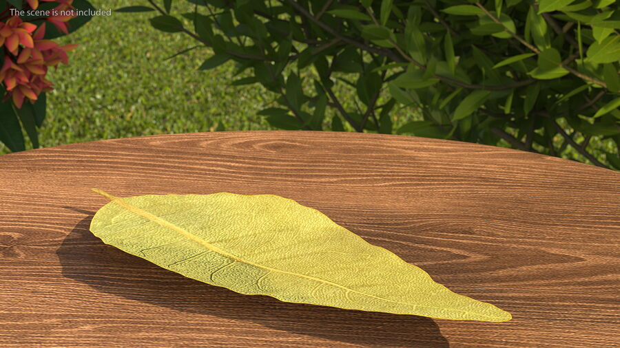Dried Bay Laurel Leaf royalty-free 3d model - Preview no. 4