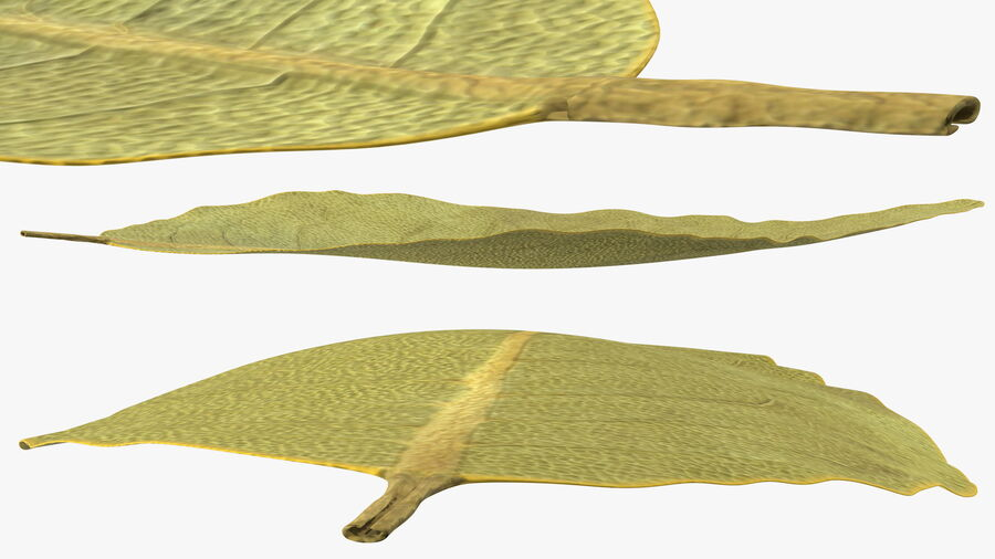 Dried Bay Laurel Leaf royalty-free 3d model - Preview no. 6