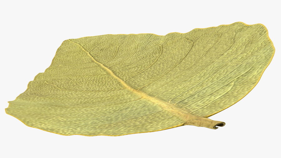 Dried Bay Laurel Leaf royalty-free 3d model - Preview no. 9