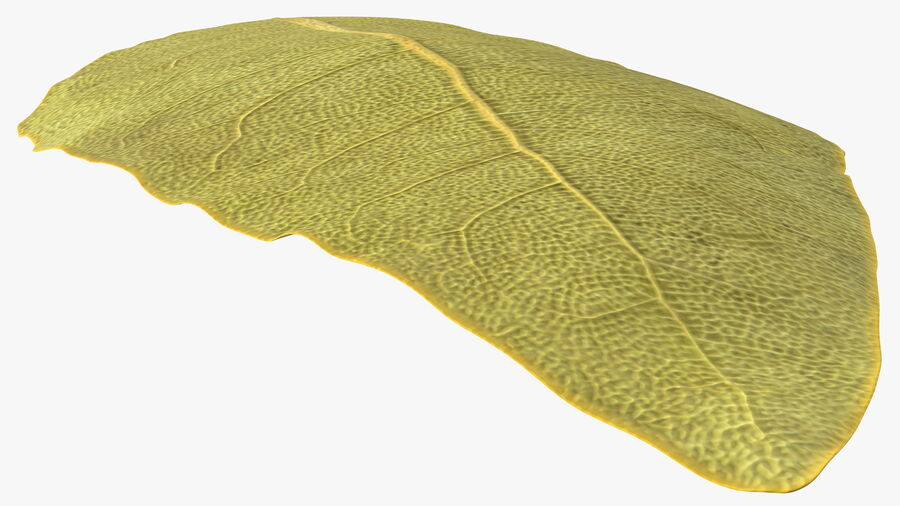 Dried Bay Laurel Leaf royalty-free 3d model - Preview no. 7