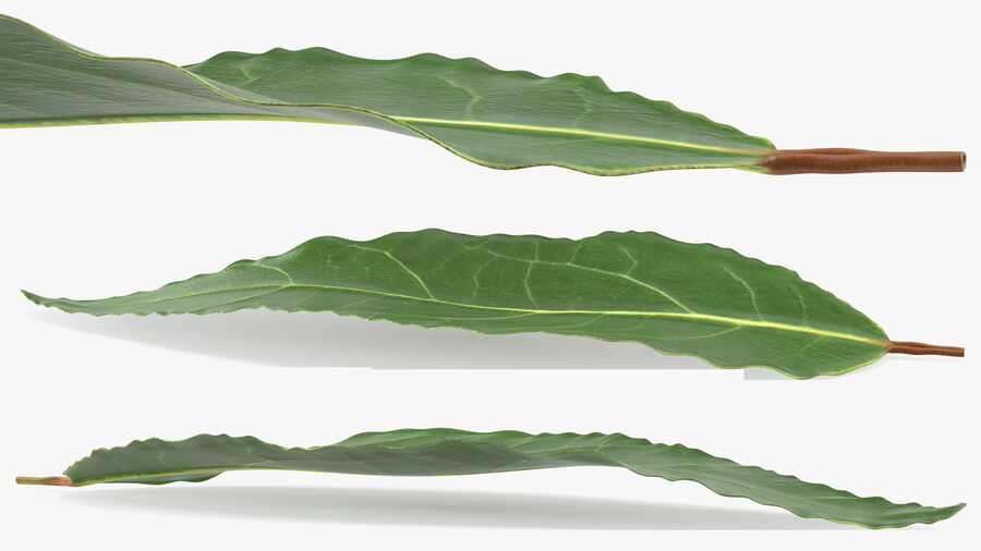 Fresh Laurel Leaf royalty-free 3d model - Preview no. 7