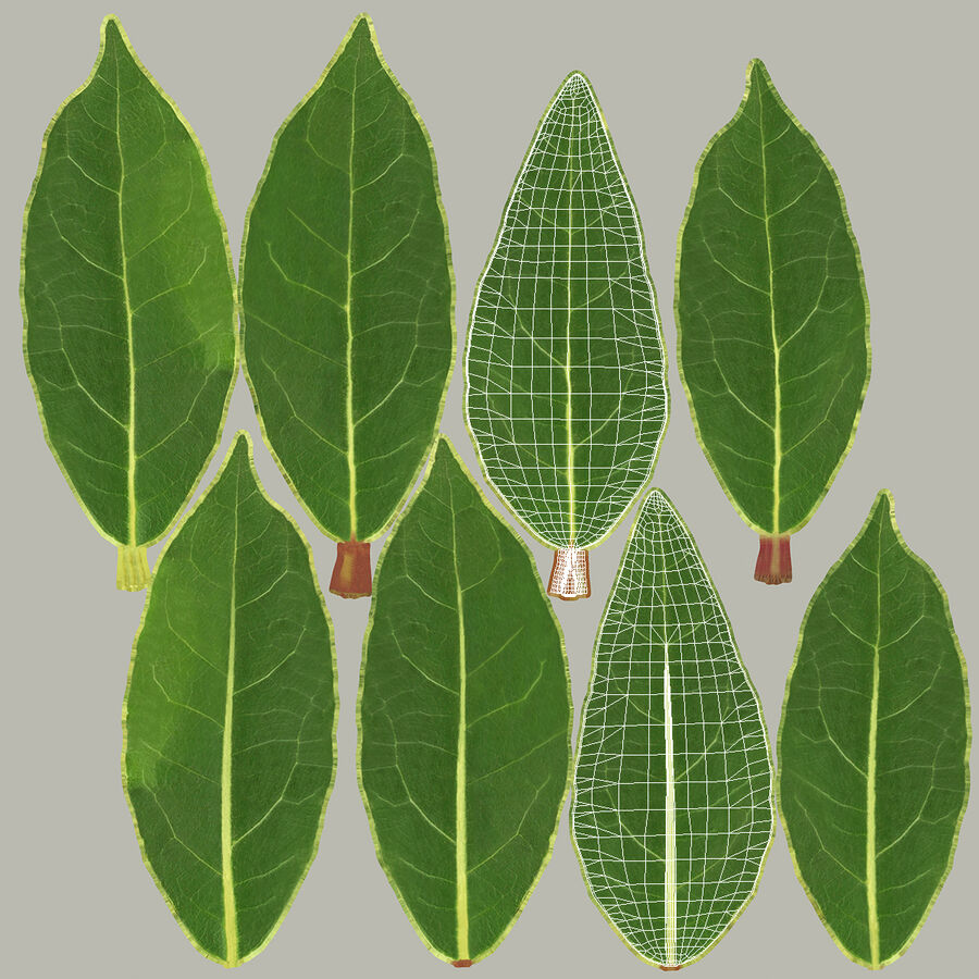Fresh Laurel Leaf royalty-free 3d model - Preview no. 14