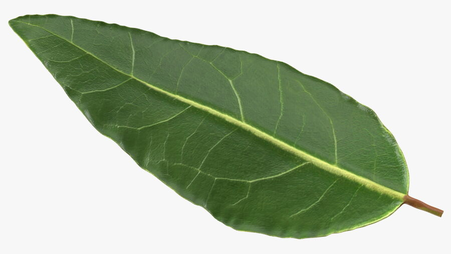 Fresh Laurel Leaf royalty-free 3d model - Preview no. 9