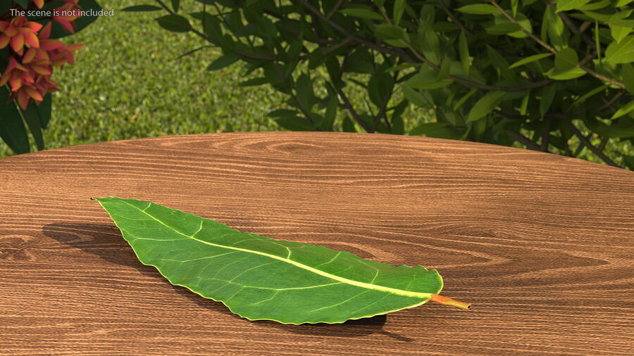 Fresh Laurel Leaf royalty-free 3d model - Preview no. 4